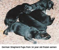 German Shepherd Pups from 34 year old frozen semen